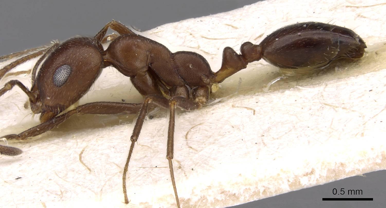 Image of Monomorium hercules