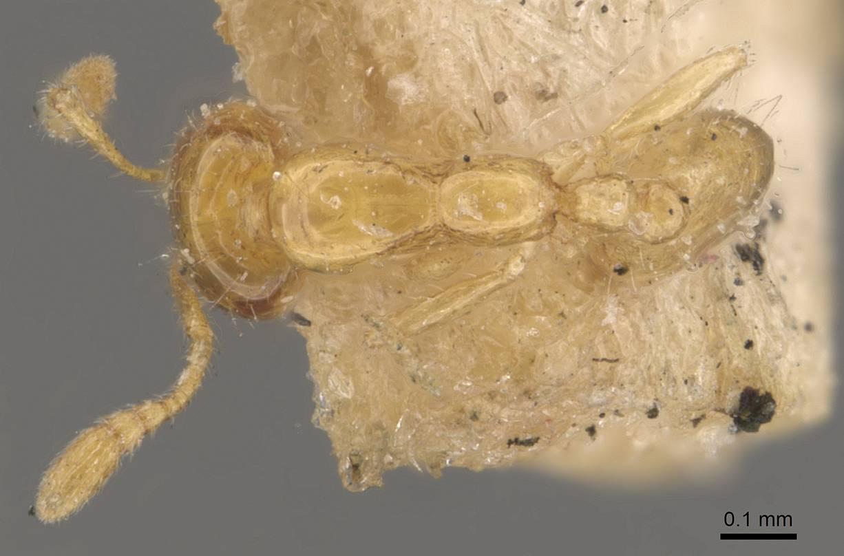 Image of Monomorium atomum