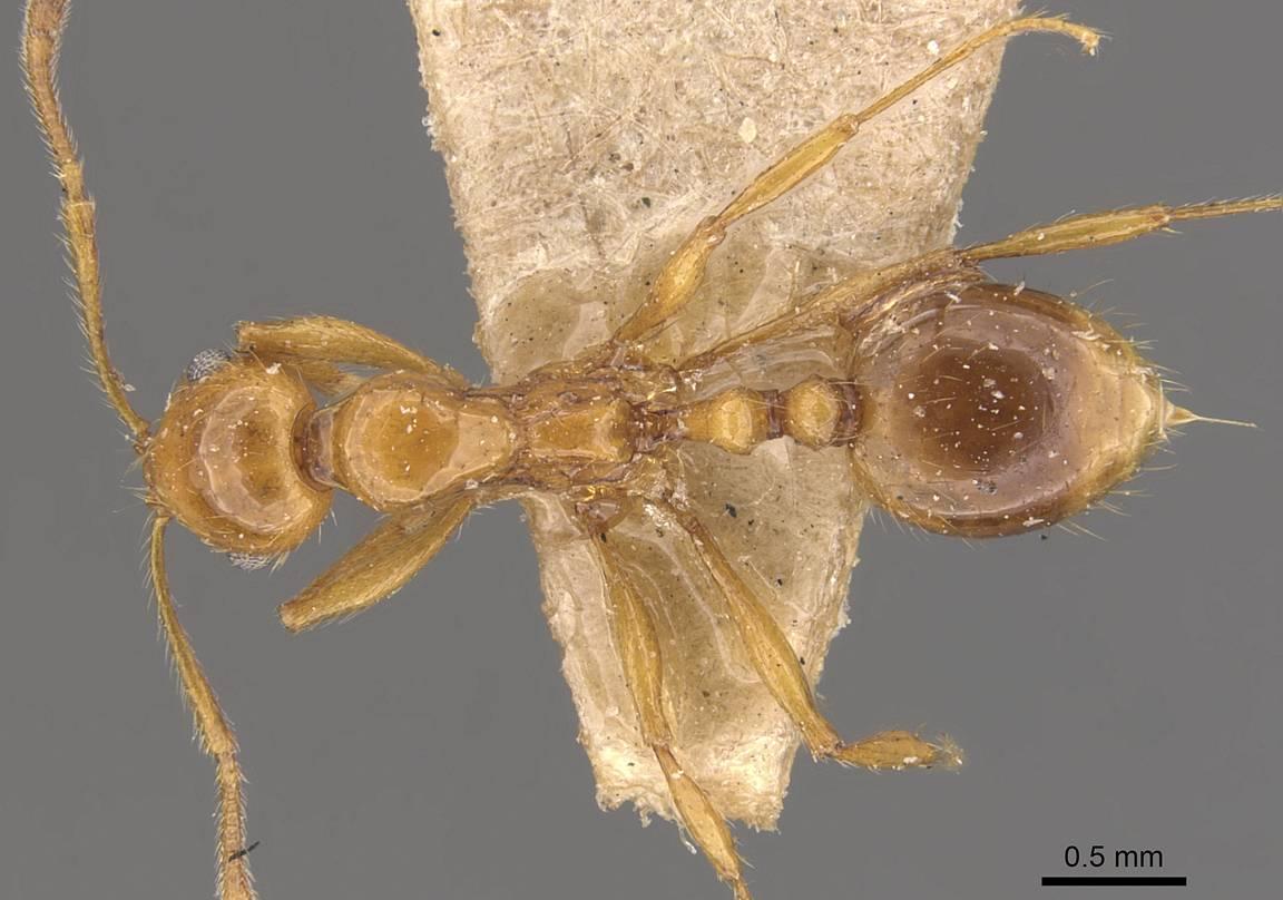 Image of Megalomyrmex pusillus