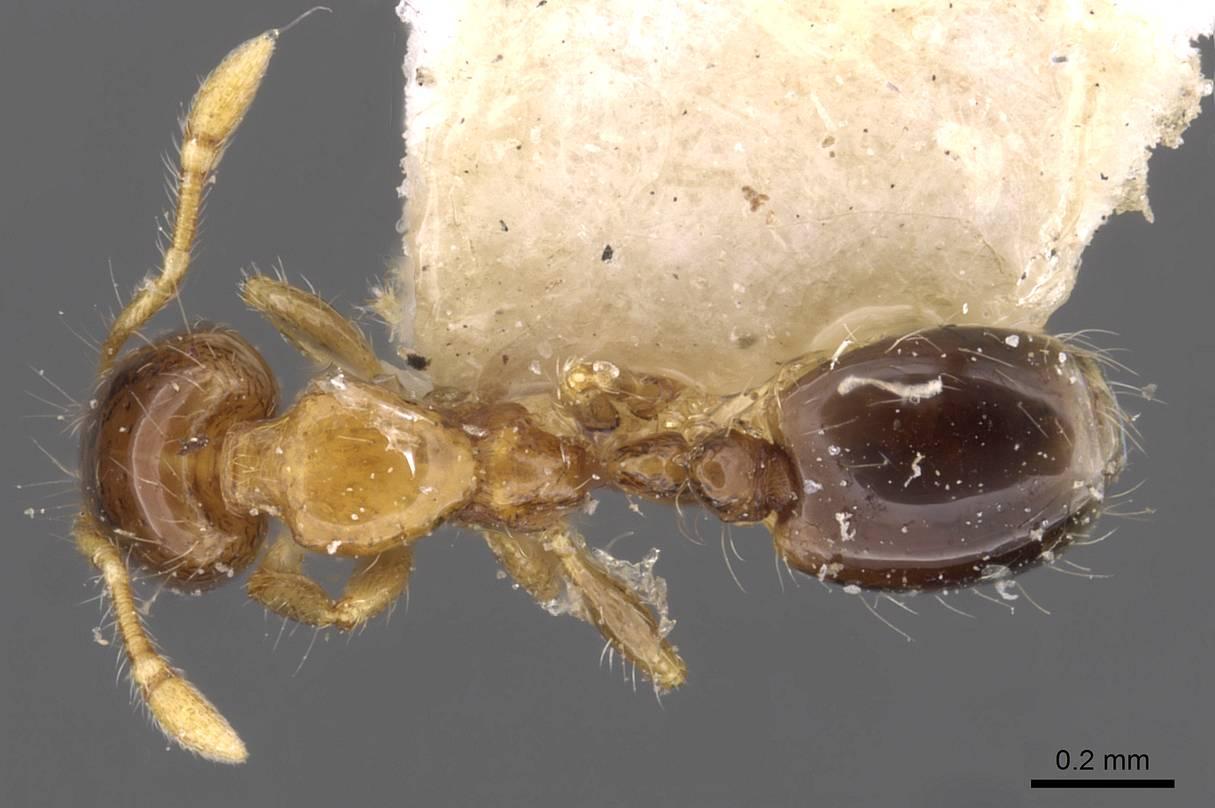 Image of Solenopsis altinodis