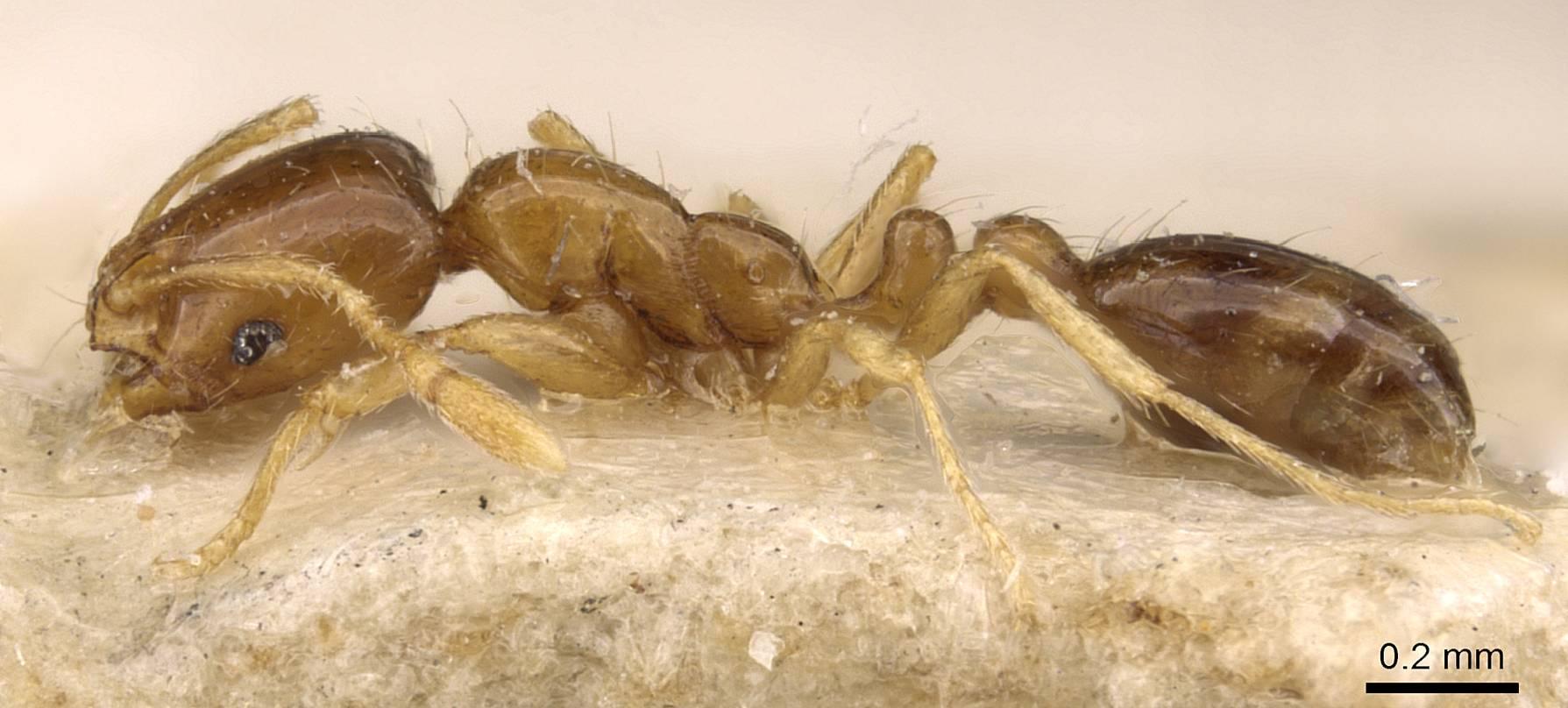 Image of Solenopsis parva