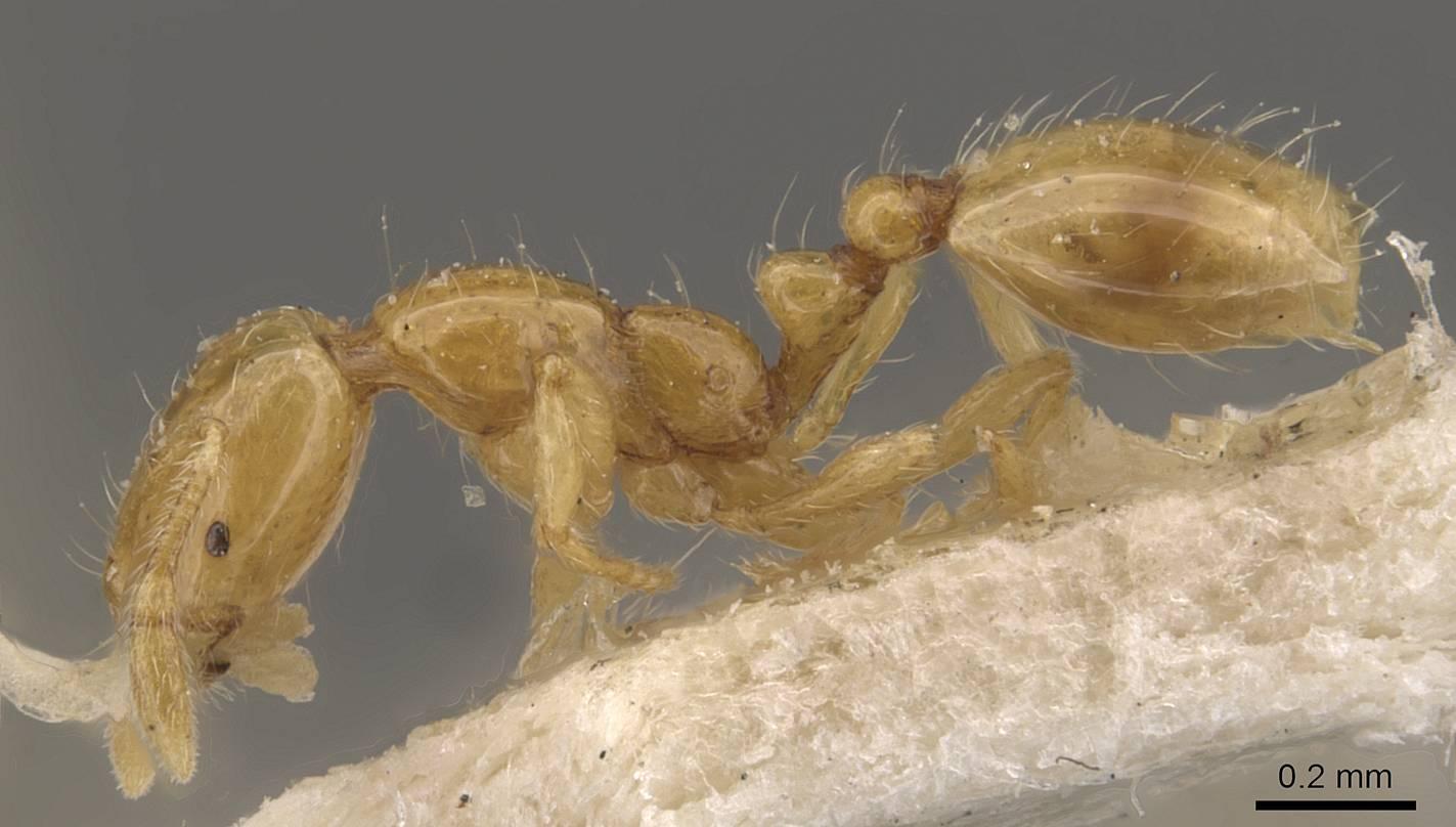 Image of Solenopsis franki