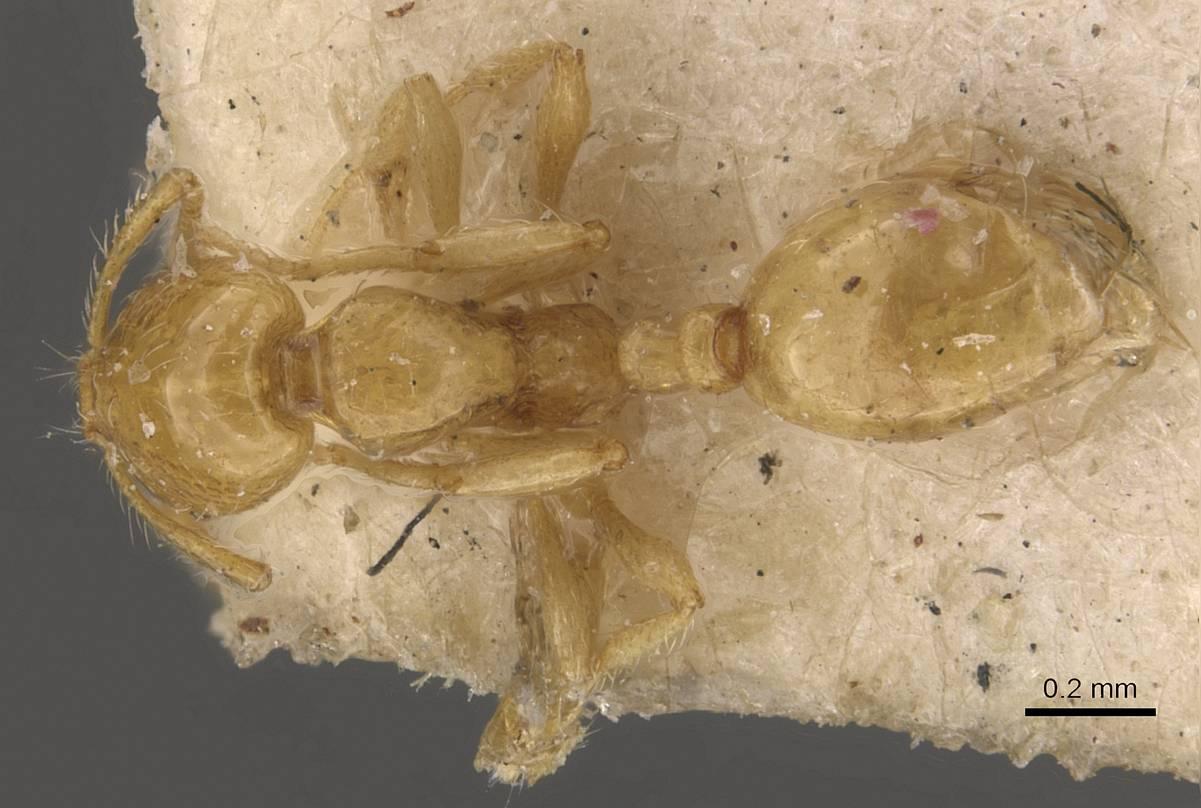 Image of Solenopsis hayemi