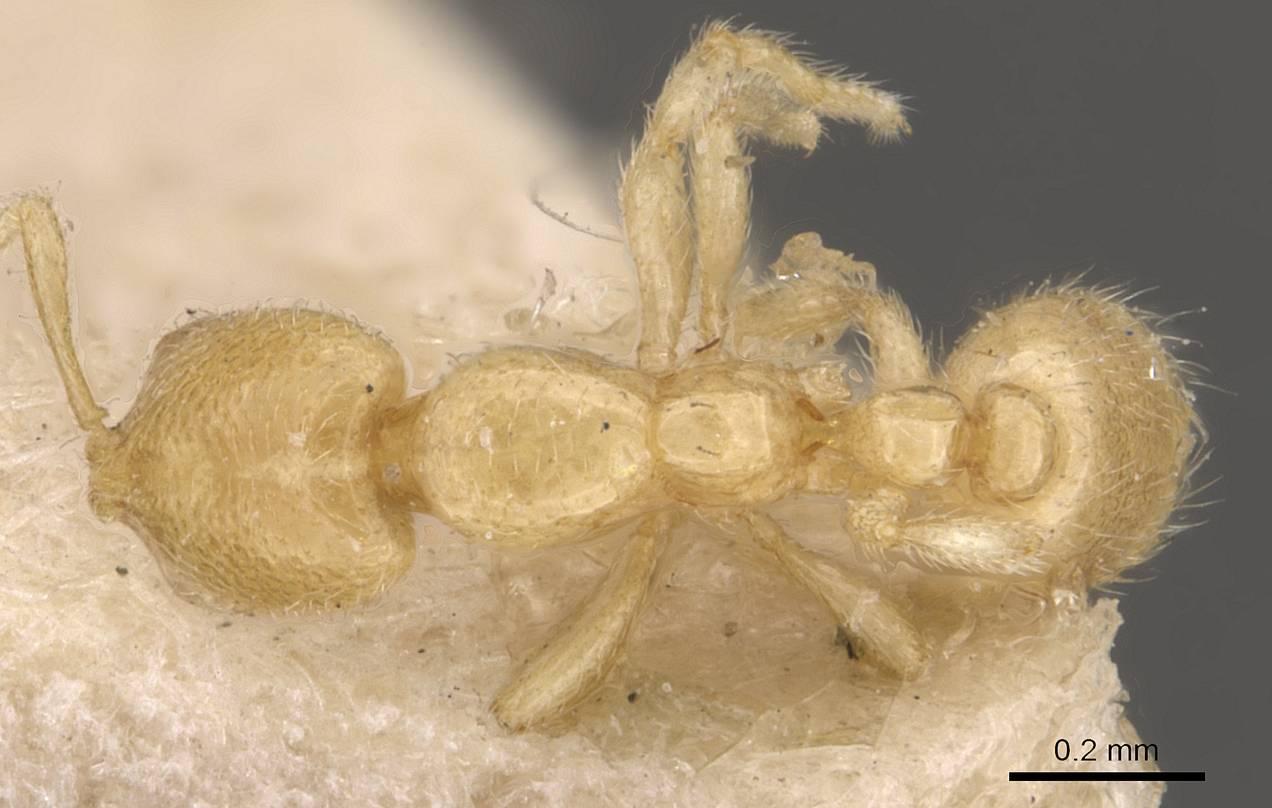 Image of Solenopsis goeldii