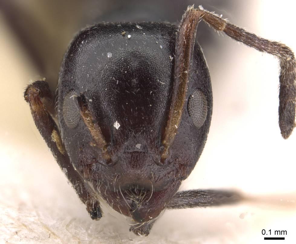 Image of Ochetellus epinotalis