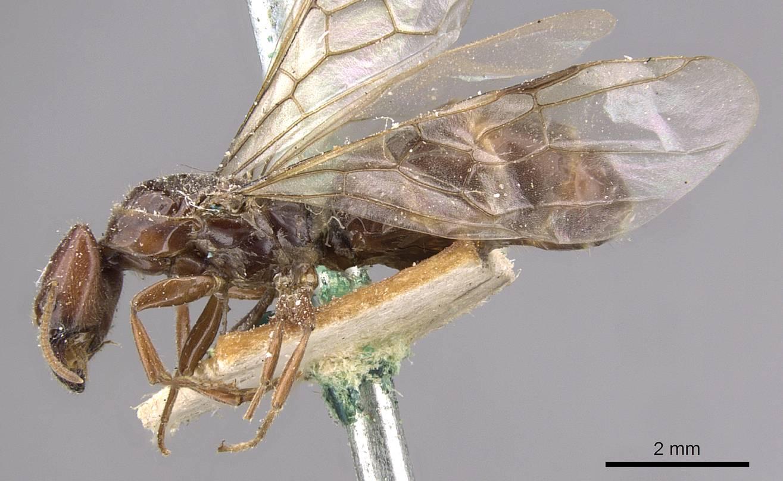 Image of Anonychomyrma froggatti