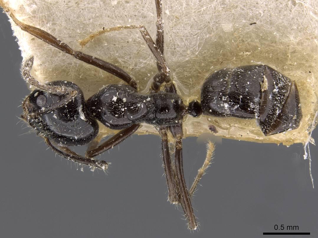 Image of Anonychomyrma malandana
