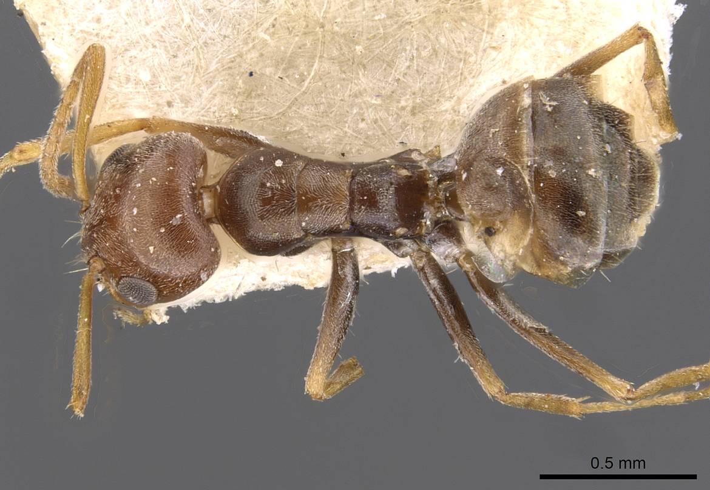 Image of Forelius breviscapus