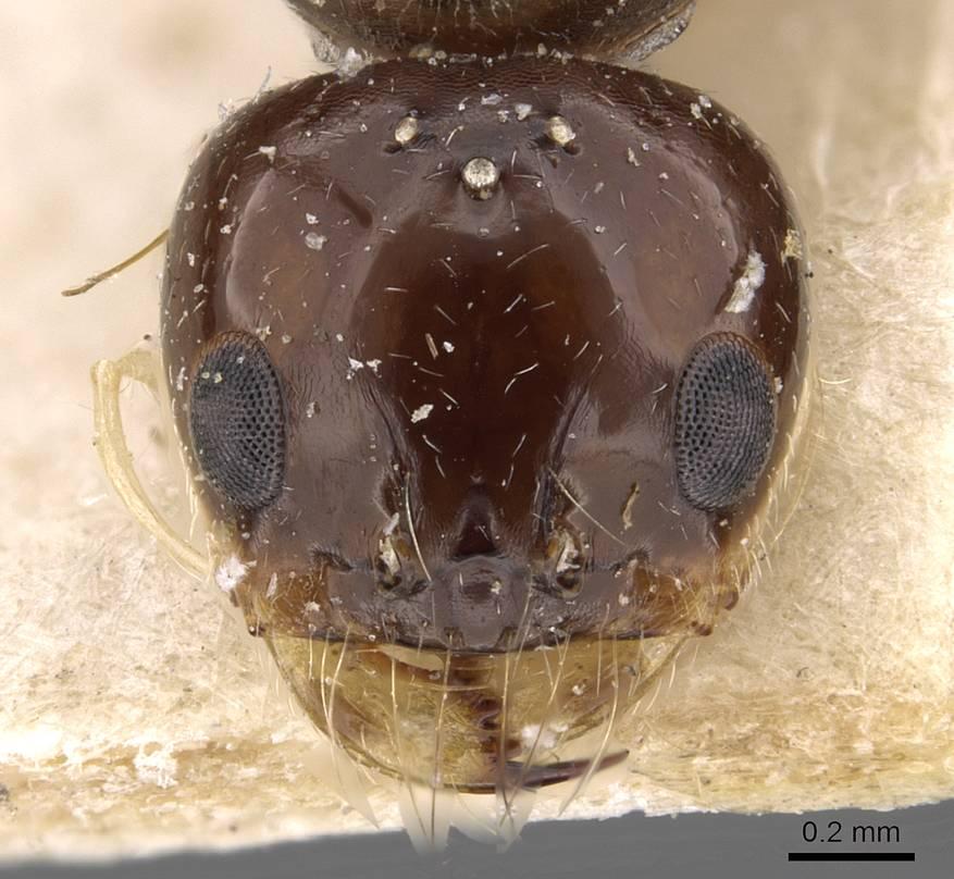 Image of Dorymyrmex alboniger