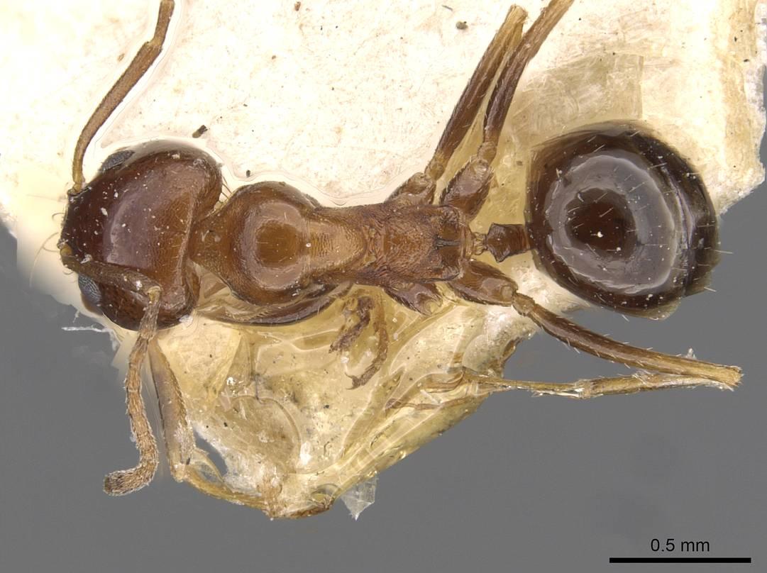 Image of Dorymyrmex bruchi