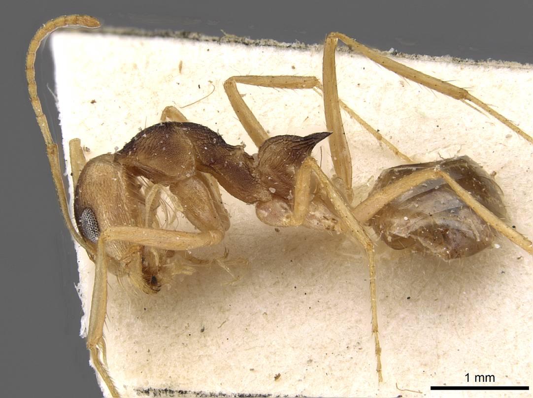 Image of Dorymyrmex morenoi