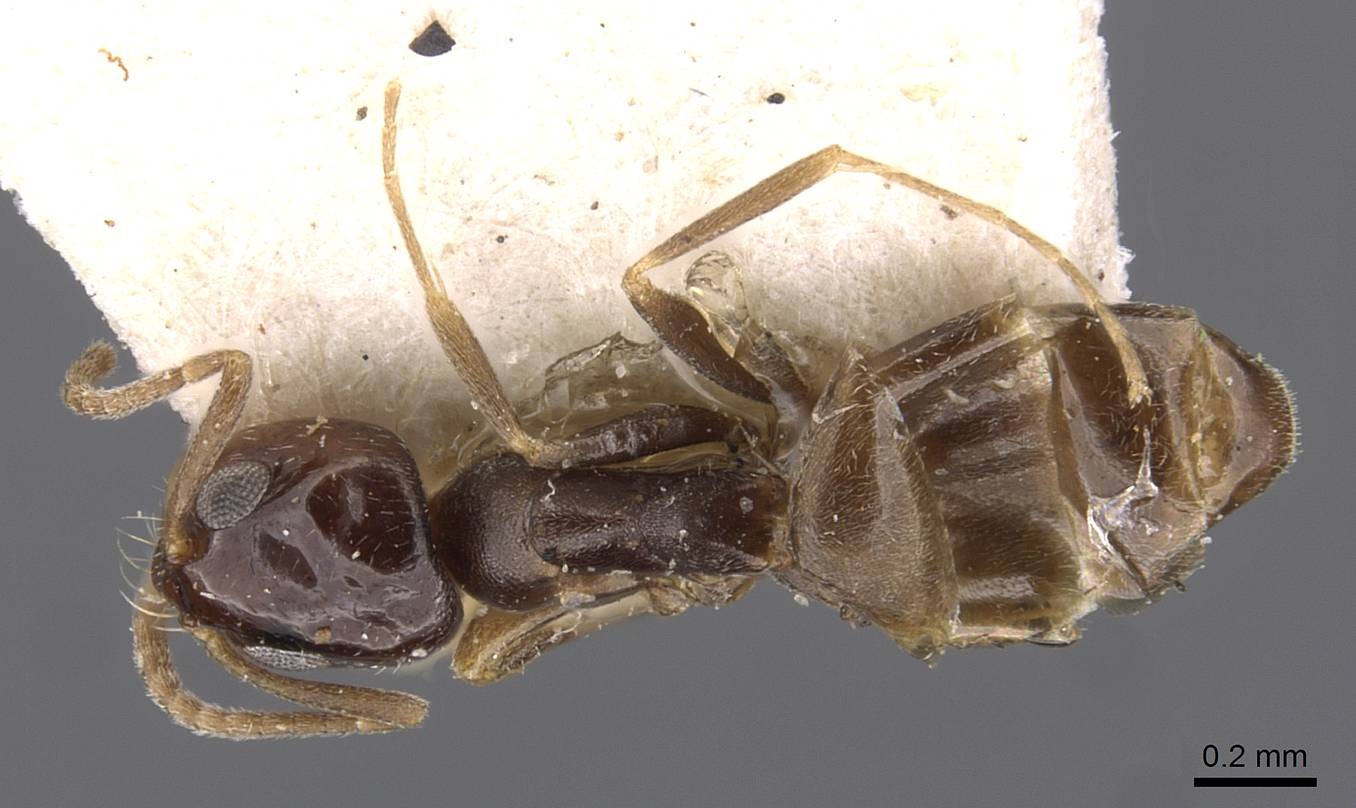 Image of Dorymyrmex carettei