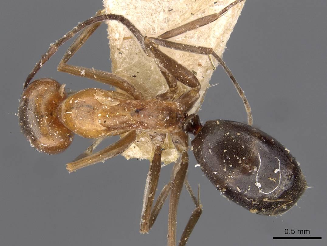 Dorymyrmex chilensis image