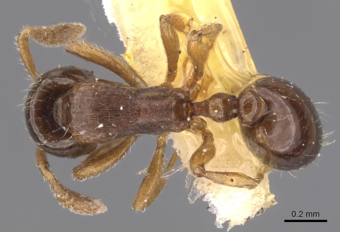 Image of Oxyepoecus plaumanni