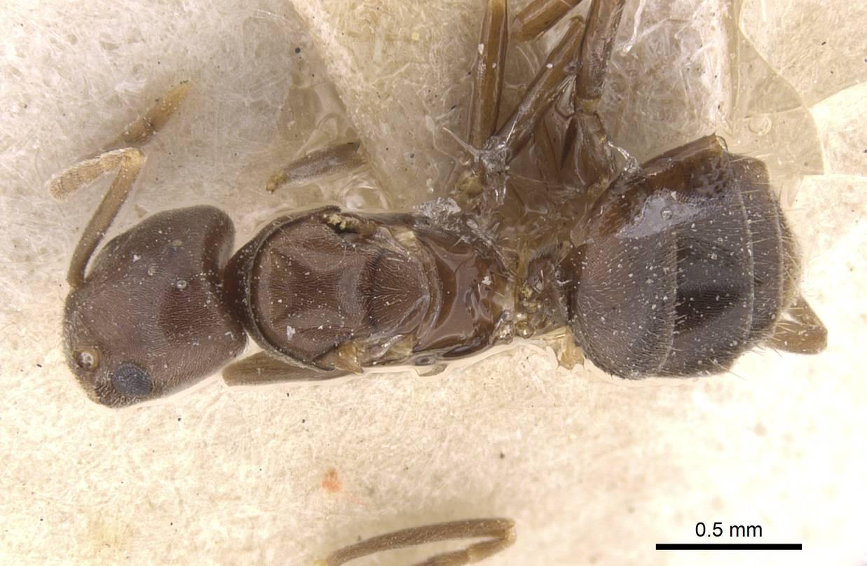 Image of Bothriomyrmex regicidus