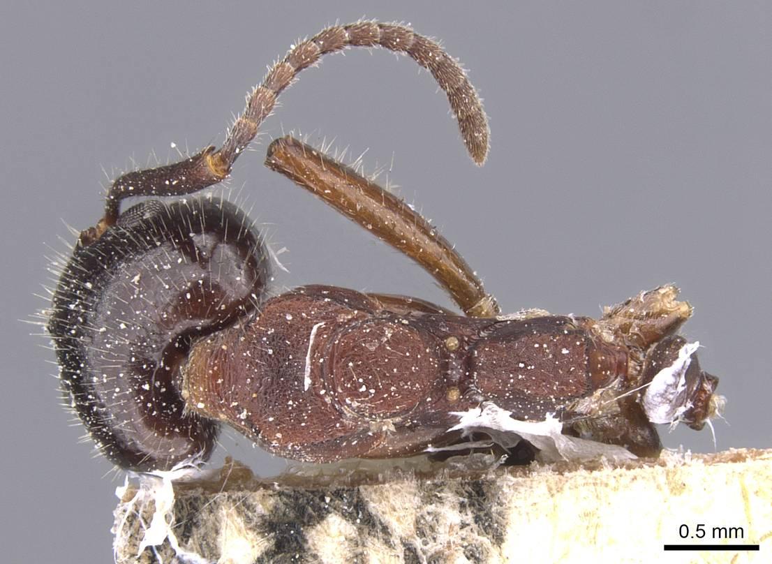 Image of Dolichoderus luederwaldti