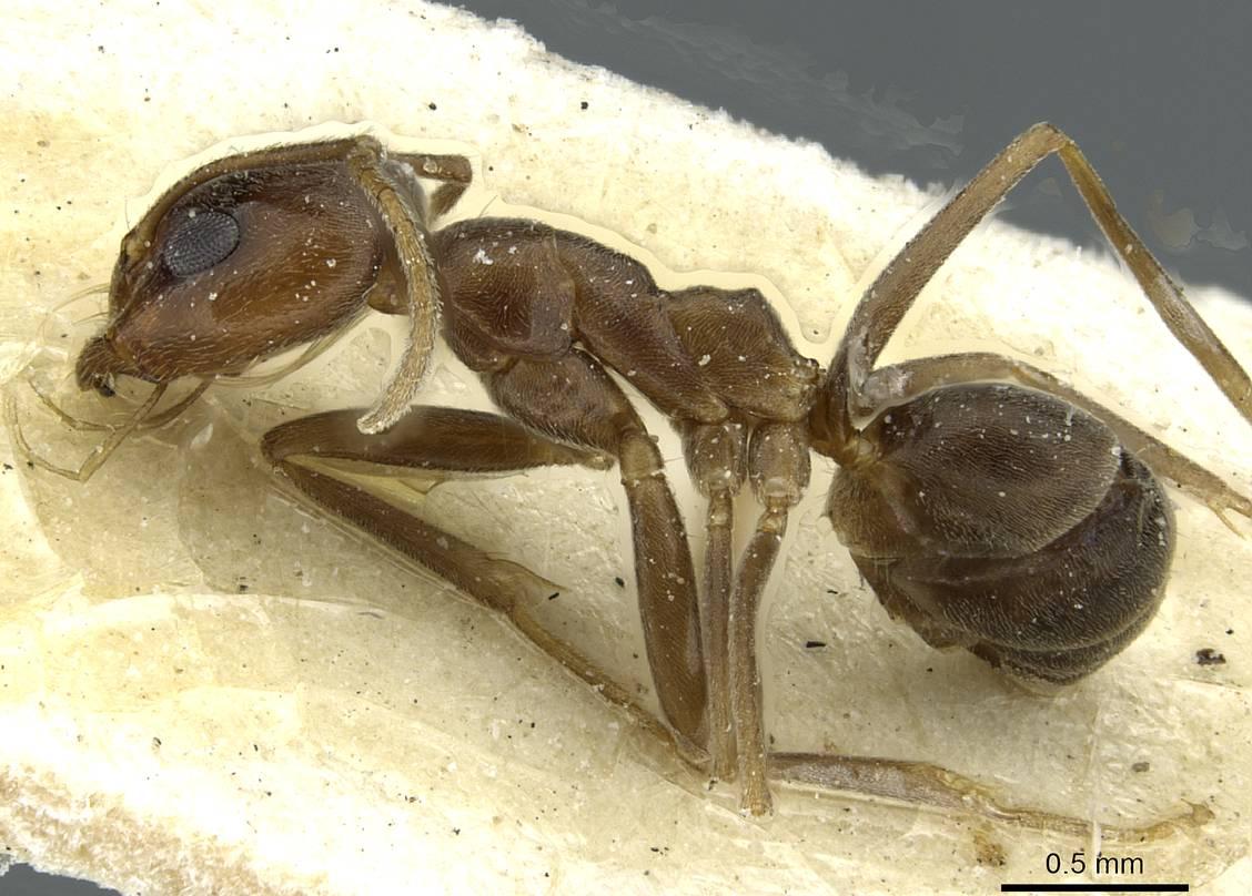 Image of Dorymyrmex fusculus