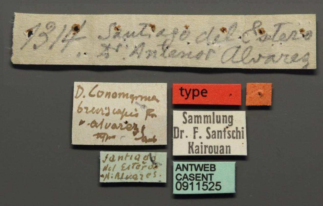 Dorymyrmex breviscapis image