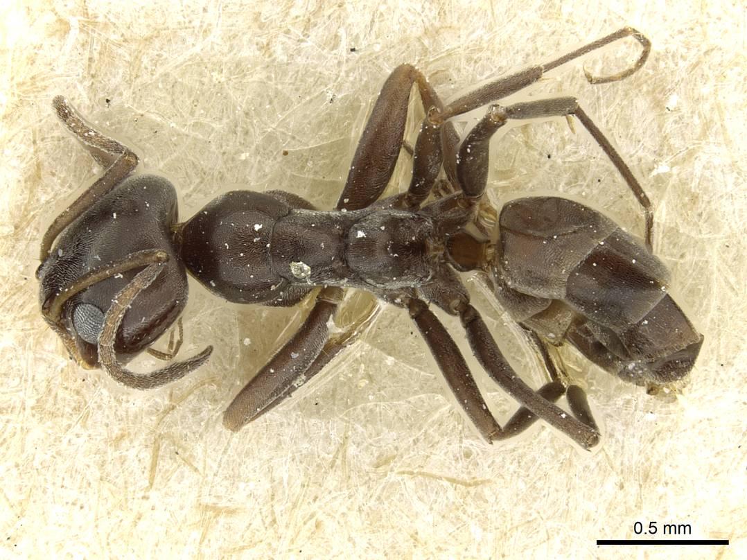 Image of Dorymyrmex confusus
