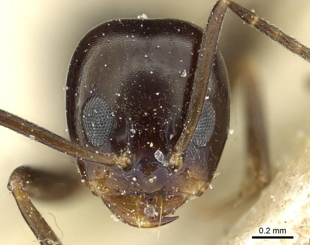 Image of Dorymyrmex pulchellus