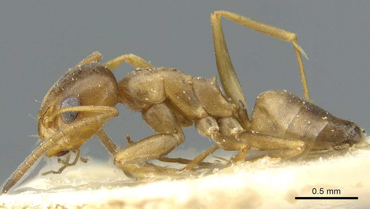 Image of Dorymyrmex santschii