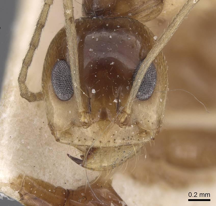 Image of Dorymyrmex joergenseni