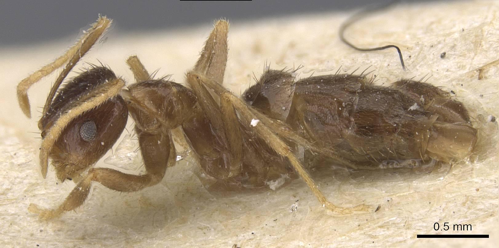 Image of Brachymyrmex antennatus