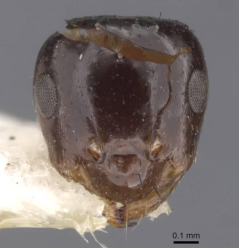 Image of Brachymyrmex gaucho