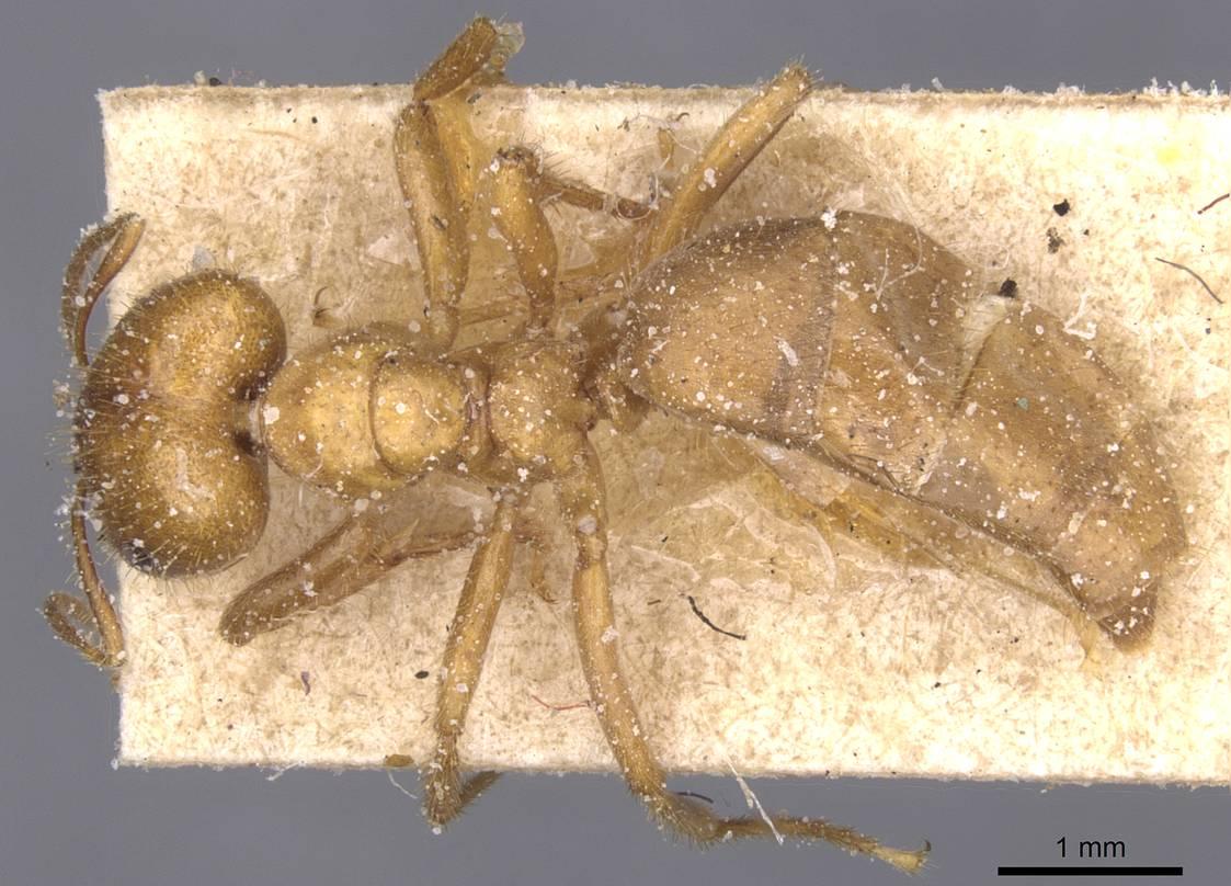 Image of Brachymyrmex micromegas