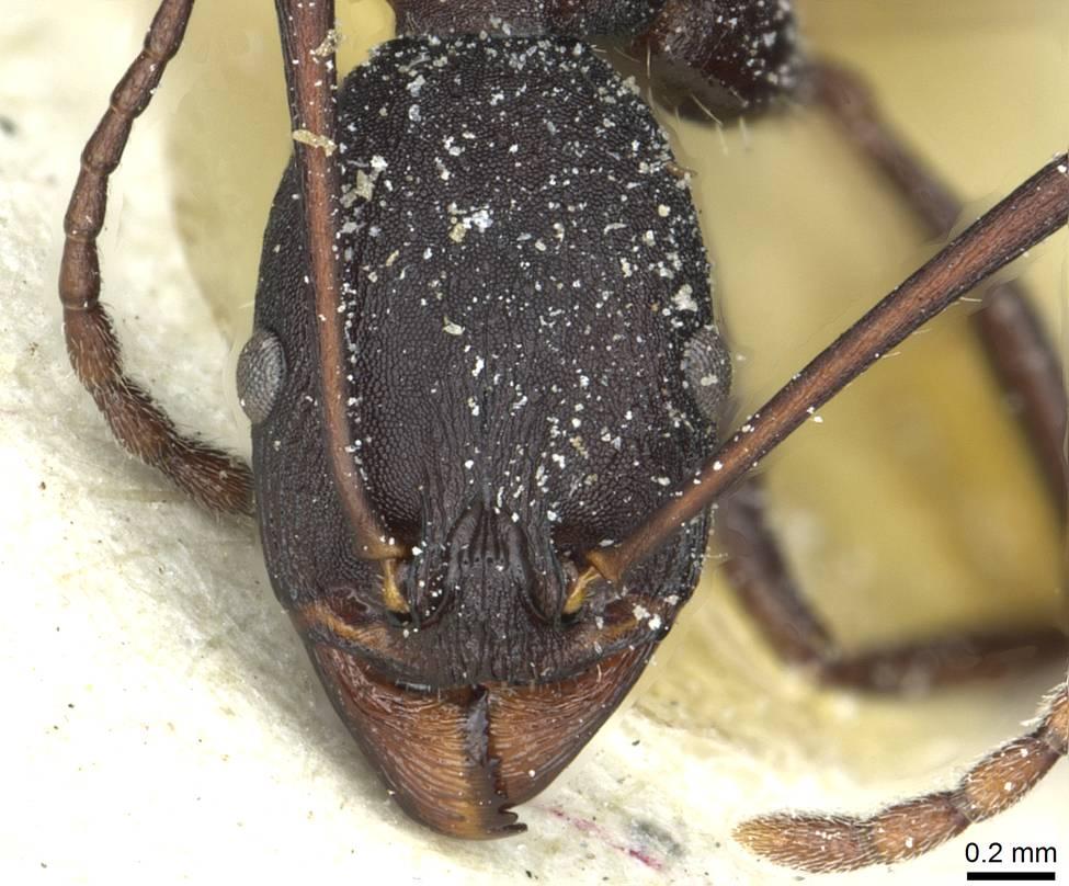 Image of Aphaenogaster depilis