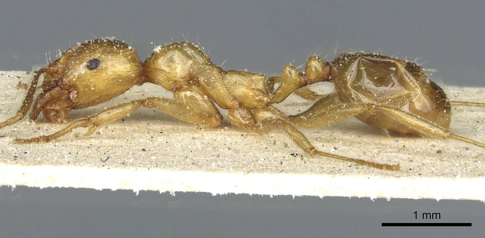 Image of Aphaenogaster hesperia