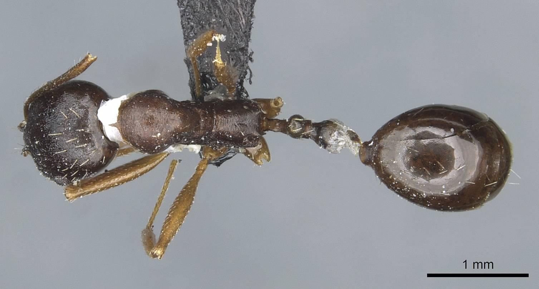 Image of Aphaenogaster nadigi