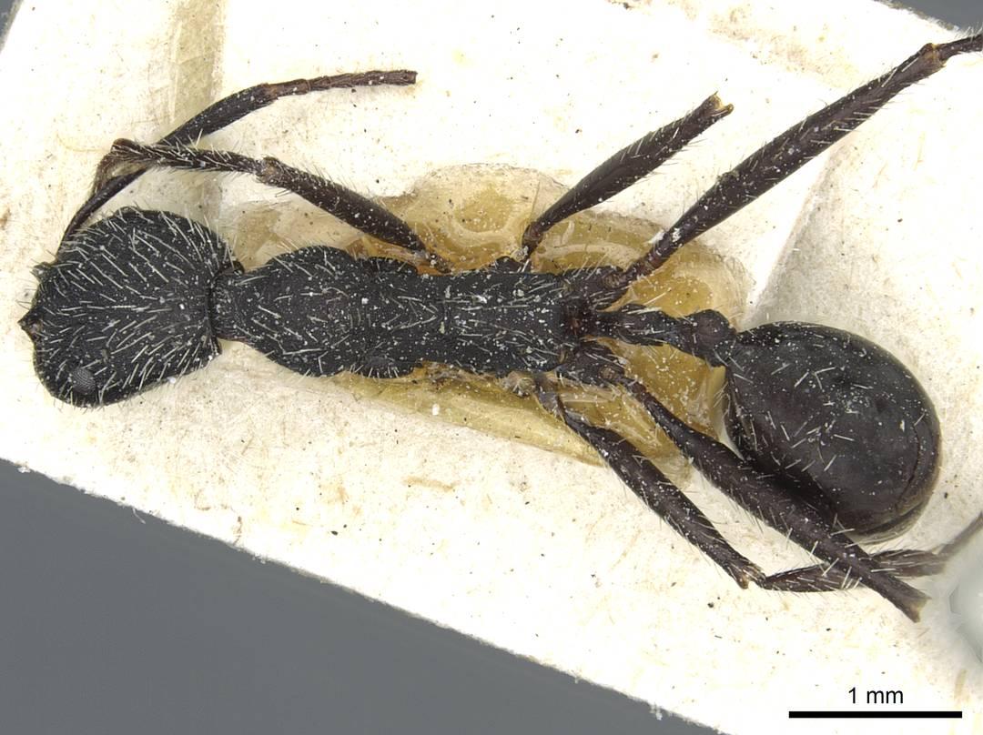 Image of Aphaenogaster praenoda