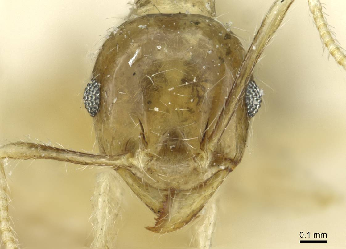 Image of Pheidole albidula