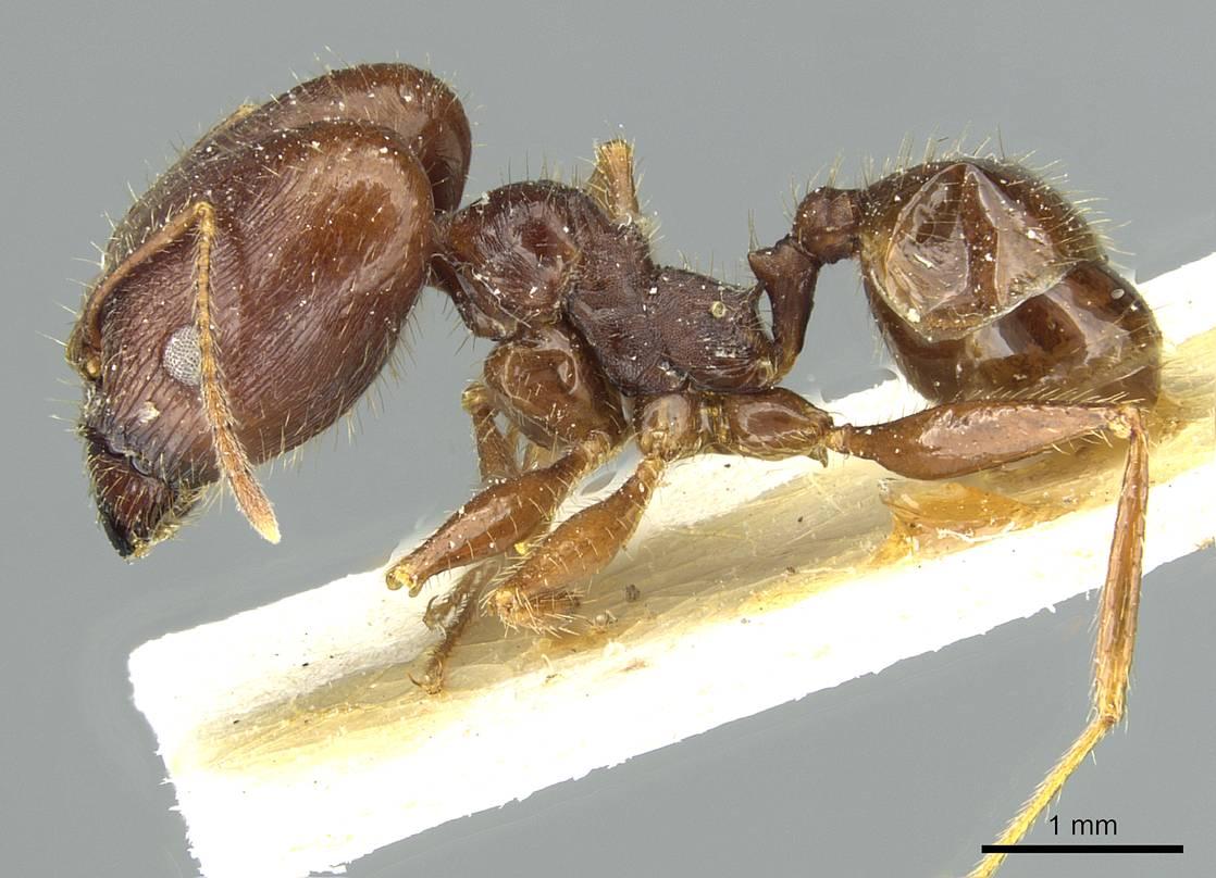 Image of Pheidole arcifera