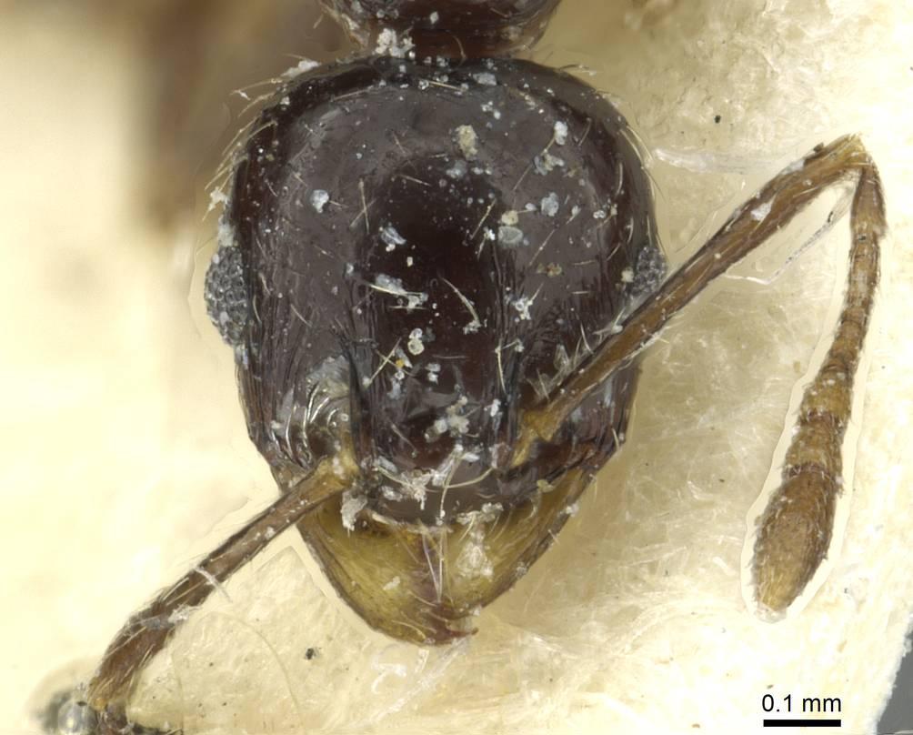 Image of Pheidole hewitti