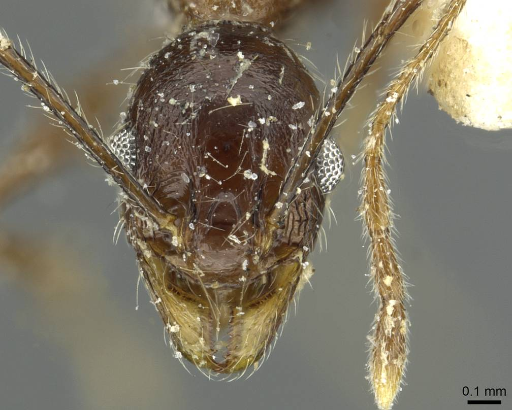 Image of Pheidole mentita