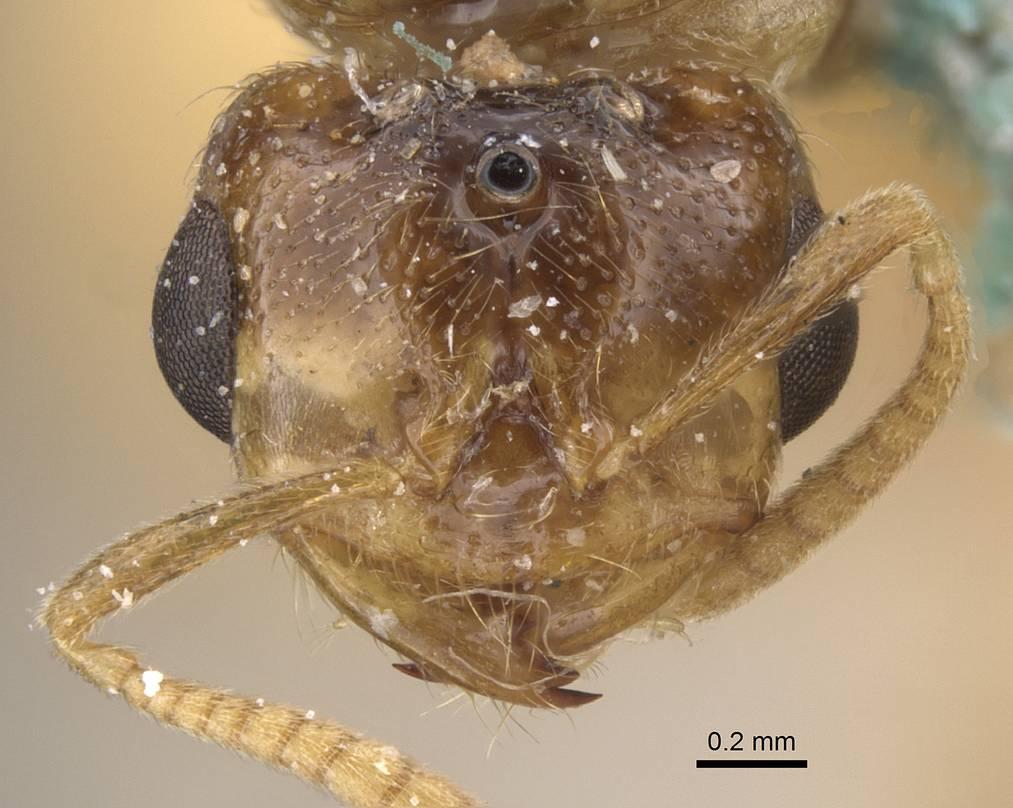 Image of Bondroitia saharensis