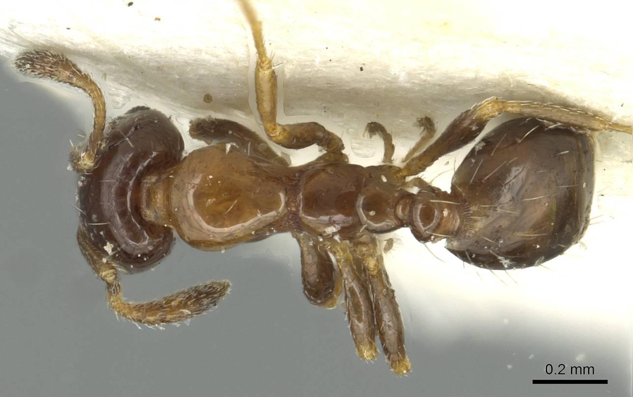 Image of Monomorium borlei