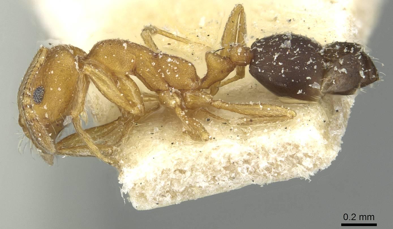Image of Monomorium dakarense