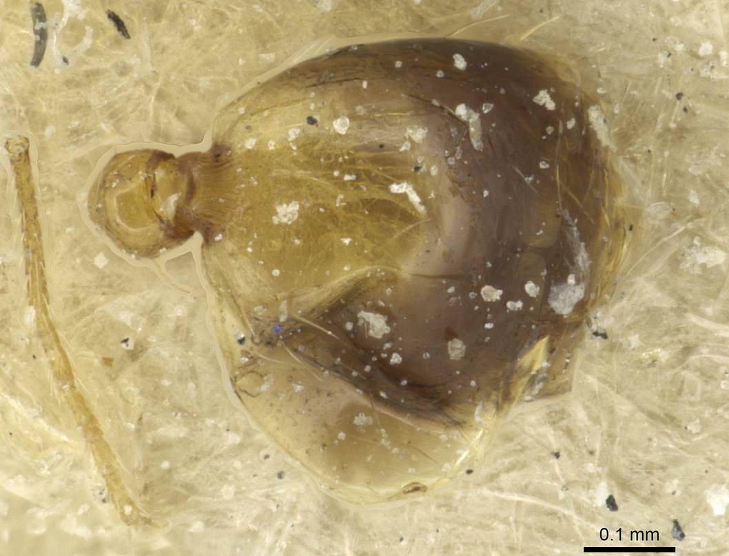 Image of Monomorium fasciatum