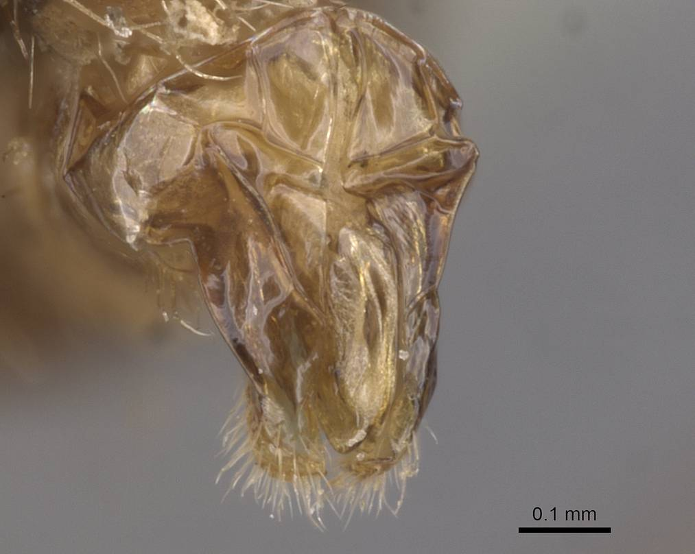 Image of Aphaenogaster saharensis