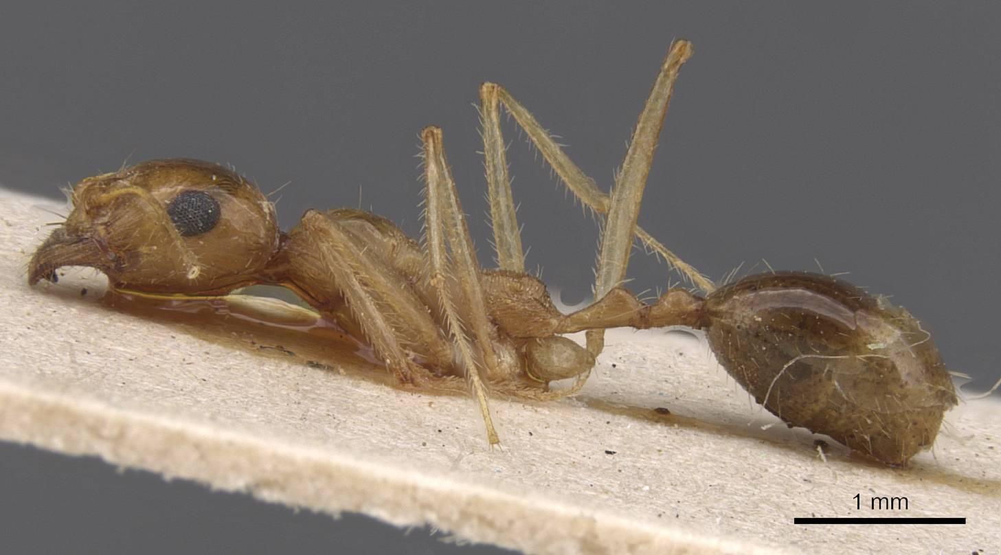 Image of Aphaenogaster isekram