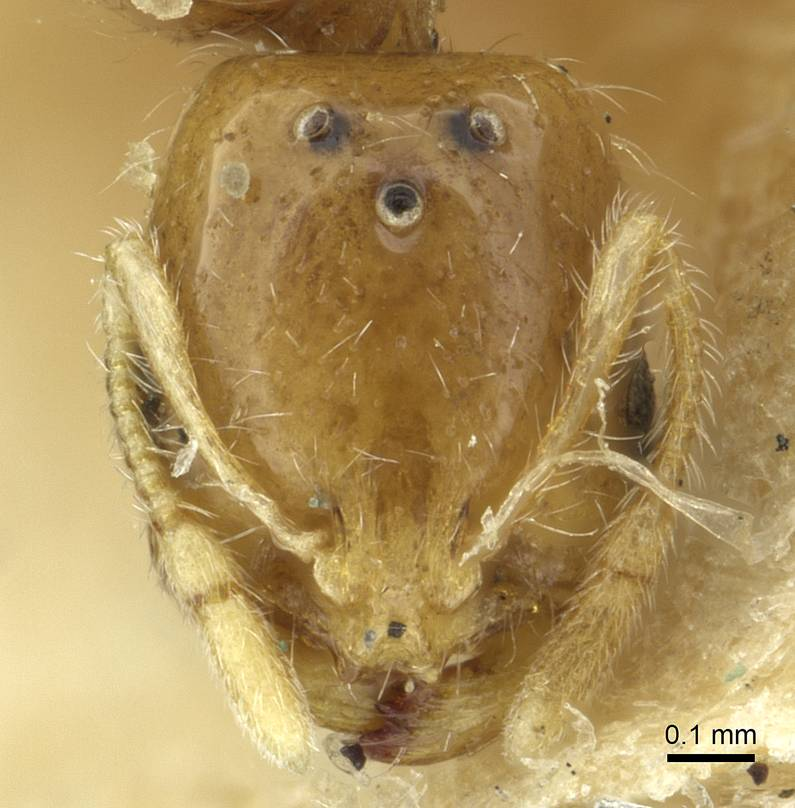Image of Solenopsis targuia