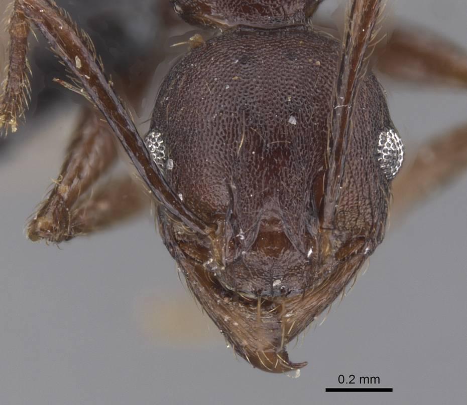 Image of Pheidole nimba