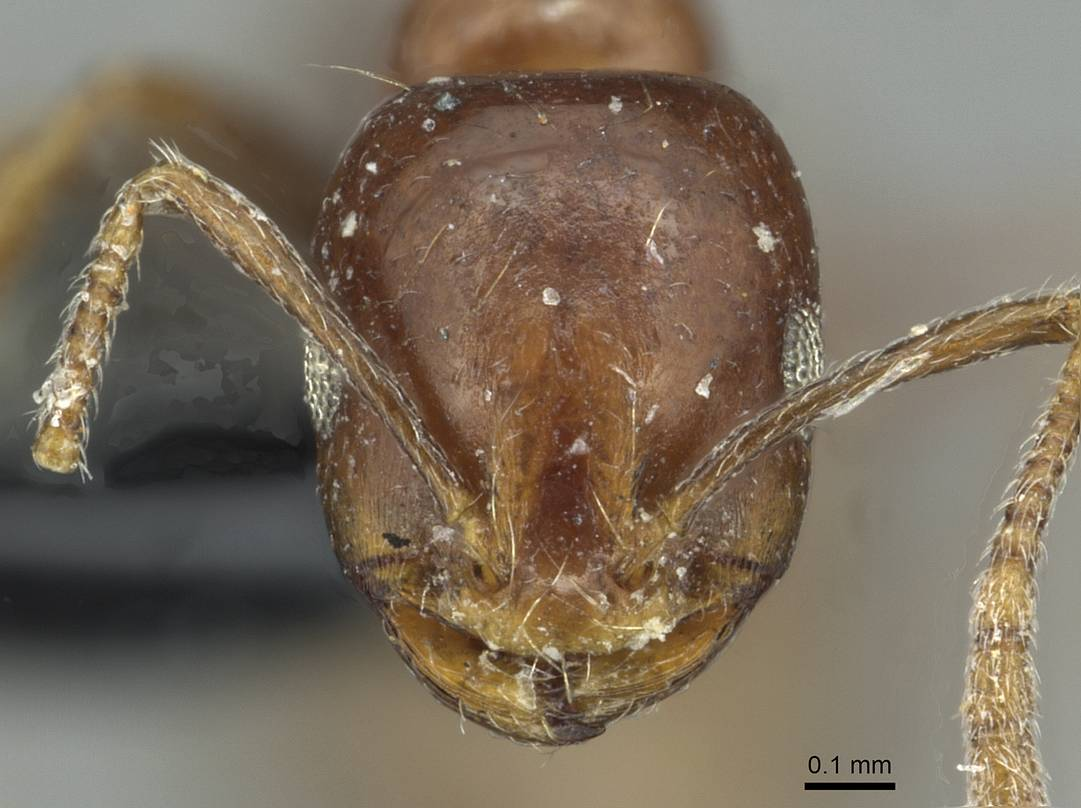 Image of Monomorium syriacum