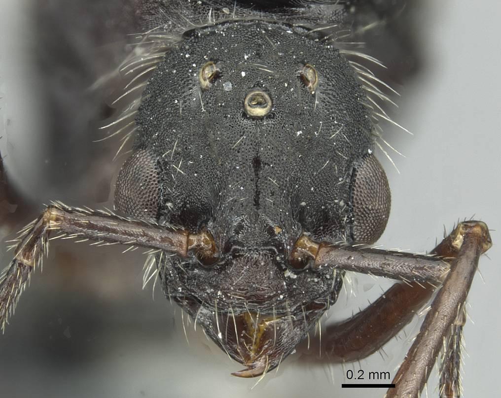Image of Aphaenogaster fallax