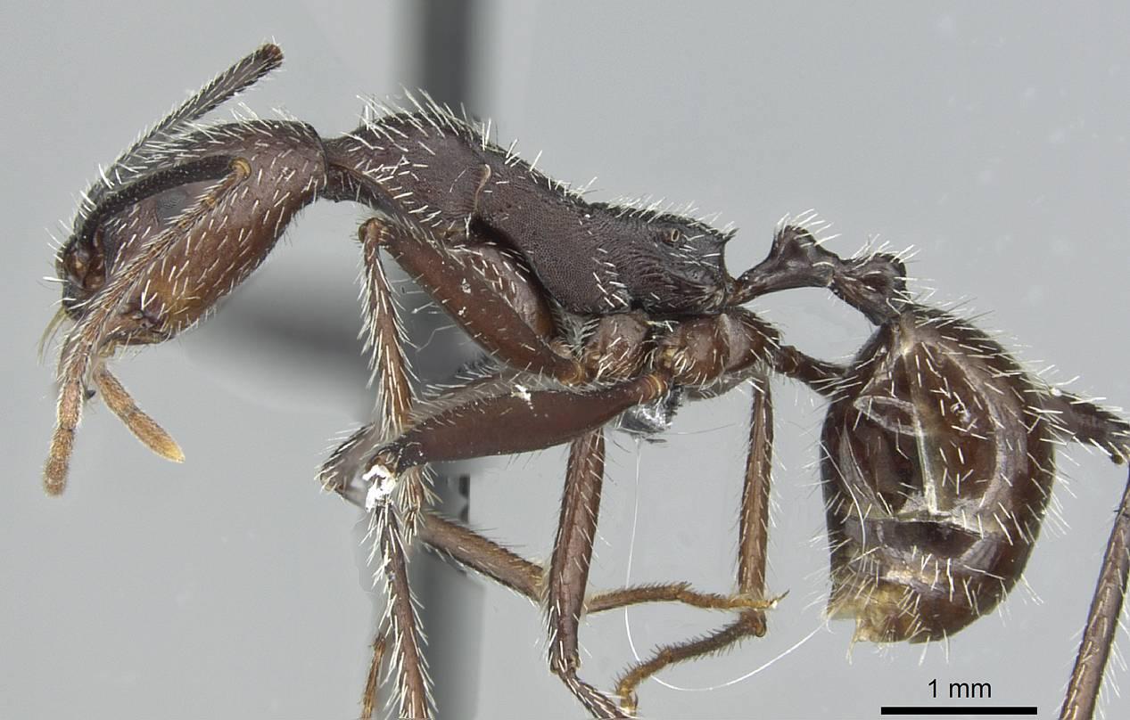 Image of Aphaenogaster torossiani