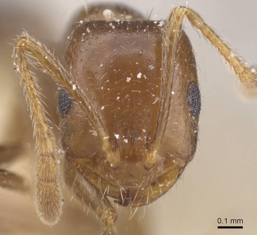 Image of Monomorium demisum
