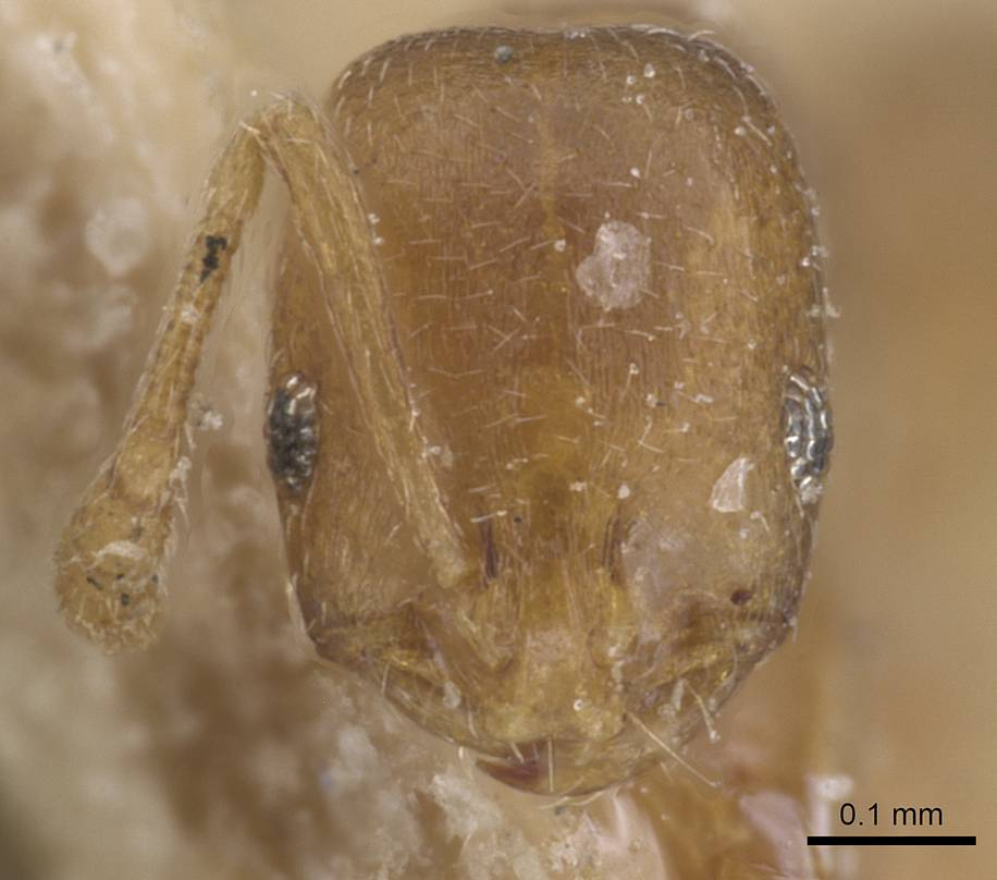 Image of Monomorium osiridis